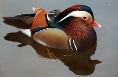 J77A2394 -- Mandarin Duck on a grey day (Nils Axel Braathen -- Thanks a lot for +200K views) Tags: france nature birds canon duck wildlife mandarinduck canard fugler oiseaux aixgalericulata levsinet mandarinente mandarinand canardmandarin vogeln mygearandme mygearandmepremium mygearandmebronze mygearandmesilver mygearandmegold mygearandmeplatinum mygearandmediamond ringexcellence dblringexcellence tplringexcellence rememberthatmomentlevel4 rememberthatmomentlevel1 rememberthatmomentlevel2 rememberthatmomentlevel3 rememberthatmomentlevel5 rememberthatmomentlevel6