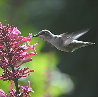 Hummingbird nectaring on deep pink Firespike