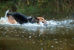 Dive Dive! (The Image Den) Tags: dog nikon action splashing southamptoncommon frozenmoment ornamentallake d5000 chasingastick