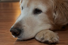 usa goldenretriever jordan servicedog retired mn loretto helpingpaws