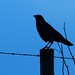 crow on barbed wire