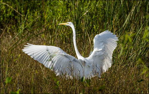 Great Egret, wings spread