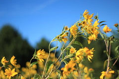 Summer Breeze (Cole Chase Photography) Tags: flowers flower yellow canon iowa yellowflowers sumer t3i summerbreeze