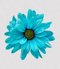 Blue Beauty (btn1131 www.needGod.com) Tags: flowers blue plants snow nature floral sony dyed cutflowers a350 mygearandme