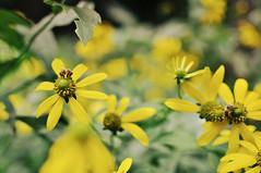 Bees (yayitscarolyn) Tags: flowers summer nature bees
