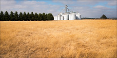 bradshaws-creek-0212-ps-w (pw-pix) Tags: trees summer sky panorama brown yellow clouds landscape golden warm cloudy grain harvest dry sunny australia victoria panoramic silo silos conifers paddock windbreak grainstorage centralvictoria graintransport cloudybutfine ballandaylesfordrd bradshawscreek
