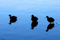 three coots (Wackelaugen) Tags: water lake reflection silhouette silhouettes three six blue black brensee stuttgart germany canon eos photo photography wackelaugen googlies animal animals nature coot coots
