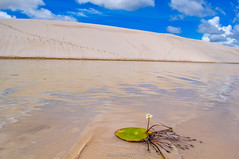 Aquatic plant with a white and yellow flower in a lagoon in Lencois Maranhenses National Park, Brazil (RonaldoMelo) Tags: brazil hydrocleysnymphoides lencoismaranhensesnationalpark ma maranhao nordeste norte north sheetsmaranhao waterpoppy aquaticplant blue brasil desertwinds dunes floating floral flower green lakes landscape nature northeast sand white yellow lenis maranhenses lenismaranhenses