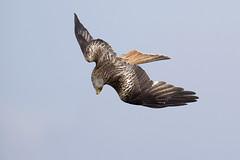Milan royal, red kite (dautonne48) Tags: milan birds oiseaux faune rapace milanroyal