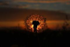 Sunset blowball (Freyja H.) Tags: iceland sunset sun blowball nature sky cloud plant dandelion flower outdoor