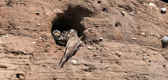 Sand Martins-2726 Explored (WendyCoops224) Tags: summerwatch 100400mml 70d canon eos rspbminsmere ©wendycooper sand martins explore explored