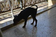 _DSC0009 (Andrea Marzano) Tags: pinscher dog cane nikon nikond5200 d5200