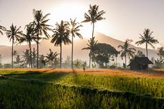 Bali sunrise (Bart Weerdenburg) Tags: bali indonesia ricefileds tirtaganggatirtagangga sunrise sun tegenlicht palmtrees palm palms rijstveld nature natuur