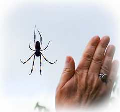 Bibe (araignée andémique) / Hellbourg