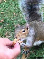 Eating out of our hand (lesleydoubleday) Tags: wildlife squirrel animal coventry