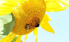 Summer: yellow (Kerri Lee Smith) Tags: summer sunflower bees