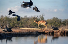 s AT Alarm at Water Hole_DSC_7347 (Andrew JK Tan) Tags: 2016 botswana mashatu impala guineafowl birds alarm wildlife nature safari