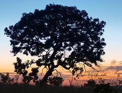 Sunset Tree 7740 (J. D'Allambert) Tags: rvore prdosol sunset poente sunrise sunshine contrast fineart brazil brasilbrazilian tree sky pirenpolis pirineus gois serra