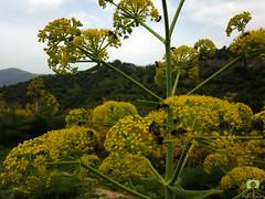 Des abeilles se rgalent pour, ensuite, nous rgaler (Ath Salem) Tags: makhchen lakhdaria bouira algrie abeilles fleurs verdure fort promenade randonne coucher de soleil