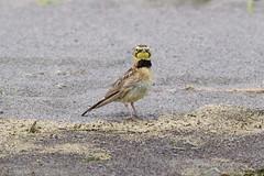 Horned Lark (C-Brese) Tags: eremophilaalpestris horned lark hornedlark bird cbrese