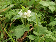 Deadnettle - Lamium album (siglinde m) Tags: herbst autumn lamium album deadnettle