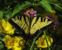 Butterfly_SAF3637 (sara97) Tags: copyright2016saraannefinke easterntigerswallowtail flyinginsect insect missouri nature outdoors photobysaraannefinke pollinator saintlouis swallowtail towergrovepark urbanpark wildlife butterfly papillaglaucus