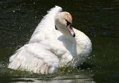 Mute Swan (Peanut1371) Tags: muteswan swan bird white water nationalgeographicwildlife