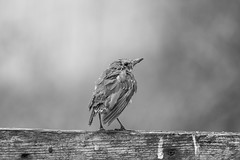 In the wars (The Original Happy Snapper) Tags: bird nature blackandwhite bw feathers damaged small songbird song bokeh war wars