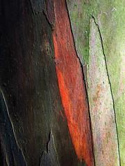 Eucalyptus perriniana detail 3 (CactusD) Tags: perriniana apple iphone 6plus london kewgardens gumtree eucalyptus trees detail texture botanic garden