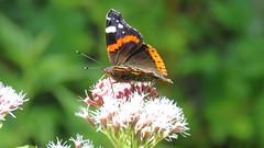 Vanessa atalanta  (Le vulcain) (bernard.bonifassi) Tags: bb088 06 alpesmaritimes 2016 thiery papillon insecte levulcain counteadenissa
