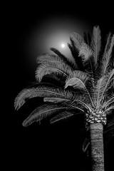 Palm tree at night, hand held (Mark James Griffiths) Tags: handheld dark night palm palmtree 2016 calabona holiday majorca sonservera illesbalears spain es