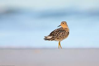 BJ8A4227-Buff-breasted Sandpiper