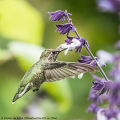 Anna's Hummingbird (P8191834) (Michael.Lee.Pics.NYC) Tags: sanfrancisco goldengatepark botanicalgarden succulentgarden annashummingbird bird salvia flower nectar feeding inflight bokeh square olympus em5 markii mkii lumix100300mm