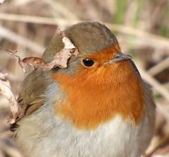 Robin (Peanut1371) Tags: robin bird gardenbird red brown nationalgeographicwildlife