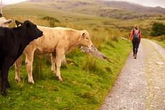 Wales (EosDennis) Tags: none wales sheep scrambling snowden tyfian climbing