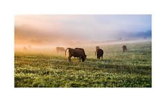 GOULASH I Gulys (krisztian brego) Tags: olympus omd em10 mzuiko digital 25mm f18 szalatnak morning herding cattle meadow
