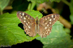 Speckled Wood Butterfly (parry101) Tags: parc slip nature reserve south wales southwales butterfly butterflies insect insects speckled wood