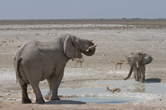 Namibia 2016 (313 of 486) (Joanne Goldby) Tags: africa africanelephant antidorcasmarsupialis august2016 elephant elephants etosha etoshanationalpark explore loxodonta namiblodgesafari namibia safari springbok antelope