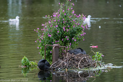 urban chic (RCB4J) Tags: fulicaatra glasgow nature rcb4j ronniebarron sigma150500mmf563dgoshsm sonyilca77m2 victoriapark aquaticbird art city coot park photography pond waterbird waterfowl wildlife