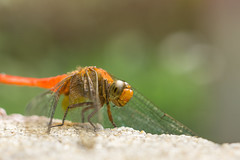 Hi ! (Just_hobby) Tags: macro animalplanet insect dragonfly sonya6000 extensiontube sel50f18