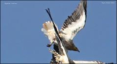 IMG_1835-cropEgyptian vults (ryancarter2012) Tags: egyptian vultures algendar gorge cala galdana