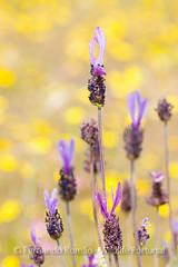Lavender (Lavandula pedunculata)