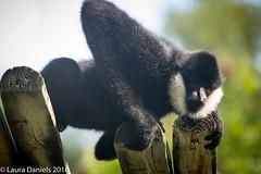 _MGL9502.jpg (shutterbugdancer) Tags: fortworthzoo primate whitecheekedgibbon