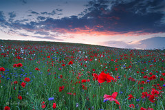 Buntbrachen Feld / Colorful field (Claudia Bacher Photography) Tags: buntbrache colorful field feld himmel heaven mohnblume poppies kornblume cornflowers sonnenuntergang sunset suisse schweiz switzerland sonya7r abendstimmung eveningsun blumen flowers clouds wolken outdoor pflanze plant