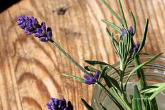 07-IMG_4601 (hemingwayfoto) Tags: hre august balkon blhen blte heilpflanze lavendel steckling vermehrung violett hre blhen blte lavendulaangustifolia