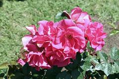 Maig_1346 (Joanbrebo) Tags: 16concursinternacionalderosesnovesdebarcelona canoneos70d efs18135mmf3556is eosd autofocus park parque parc parccervantes garden jard jardn barcelona blumen blossom flores flors flowers fiori fleur