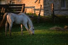 A Good Day (torn8o) Tags: horse grazing kansas tallgrassnationalpreserve fujivelvia