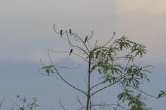 chestnut-headed bee-eater (arcibald) Tags: meropsleschenaulti chestnutheadedbeeeater beeeater bird birds aves phnompenh cambodia