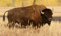 Bison (Steve Gifford - IN) Tags: bison buffalo grand teton national park steve steven gifford oxford oh ohio picture photo photograph nature wildlife