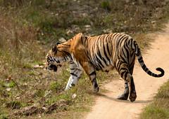 Tiger (justinclayton99) Tags: madhya pradesh animal beast carnivore cat india indien kanha mammal national one orange panthera park prey single stripe stripes tiger tigris walking wild wildlife madhyapradesh ind